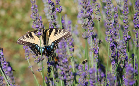 Butterfly at Lavender Fields